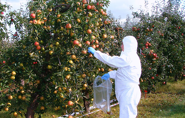 s_GLP jabłoń